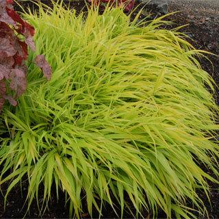 All Gold Hakonechloa macra Golden Hakone Grass Plant