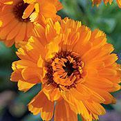Orange Zinger Calendula
