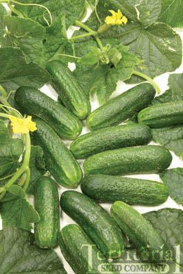 Diamant Cucumbers