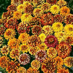 Zinnia haageana 'Persian Carpet Mixed'