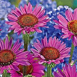 Vintage Wine® Coneflower