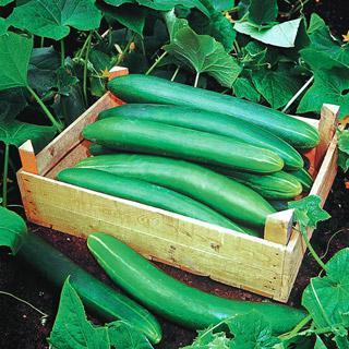 Cucumber Tanja