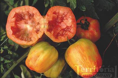 Schimmeig Striped Hollow Tomato Conventional & Organic