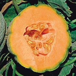 Orange Sherbet Hybrid Cantaloupe