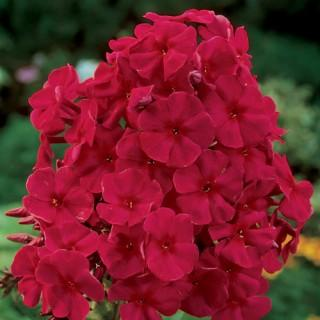 Red Riding Hood Tall Phlox