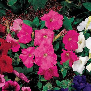 Petunia Celebrity Pink Improved Hybrid