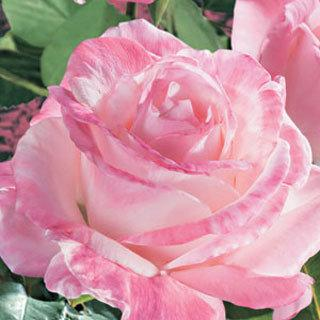 April in Paris ™ Cream-Pink Hybrid Tea Rose