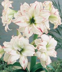 Aphrodite Jumbo Amaryllis - 1 bulb