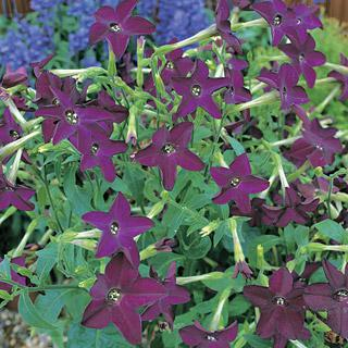 Flowering Tobacco Perfume Deep Purple Hybrid