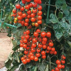 Tomato Suncherry Premium F1 Hybrid (Cordon)