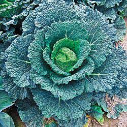 Autumn Jewel Cabbage