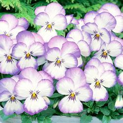 Viola hybrida 'Magnifico' F1 Hybrid