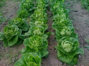 Lettuce, Little Gem, Romaine (Cos)
