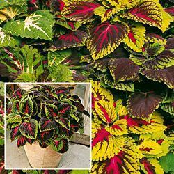 Coleus x hybridus 'Kong Mixed'