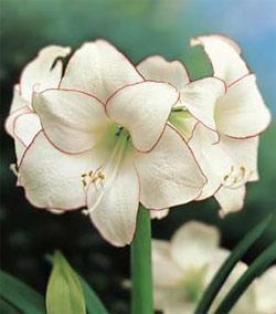 Picotee Amaryllis - 1 bulb