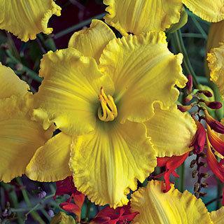 Ferengi Gold Daylily Plant