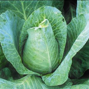 Cabbage, Winningstadt