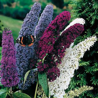 Butterfly Bush Mix