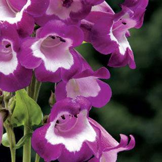Pretty Petticoat Penstemon Plant