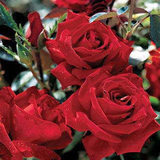 Beloved™ Red Hybrid Tea Rose