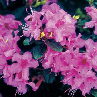 Abbey's Re-View Rhododendron Shrub
