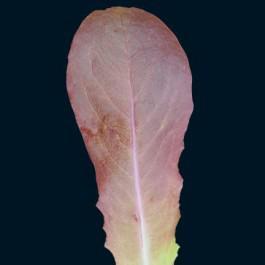 Cimmaron Lettuce