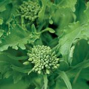 Spring Broccoli Raab