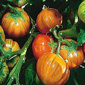 Turkish Orange Eggplant