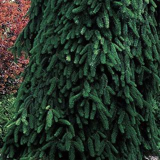 Picea abies pendula Weeping Norway Spruce Tree