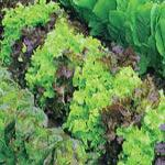 Lettuce, Heirloom Mix
