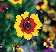 Coreopsis tinctoria - Plains Coreopsis  Bulk Seed - 1 pound