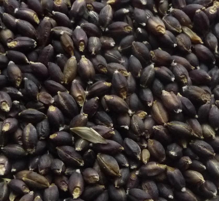 Barley (Purple)