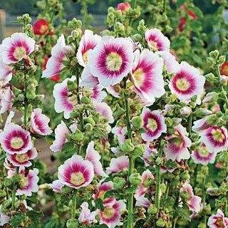 Halo Blush Alcea rosea Hollyhock Plant