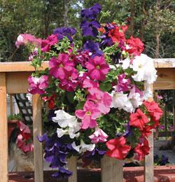 Mixed Petunia Vertical Garden