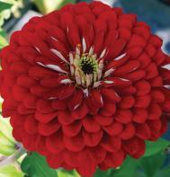 Giant Dahlia Flowered Scarlet