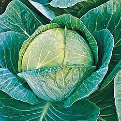 Megaton Hybrid Cabbage