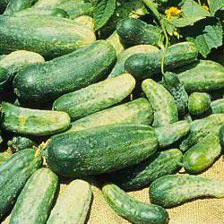 Bush Pickle Hybrid Pickling Cucumber