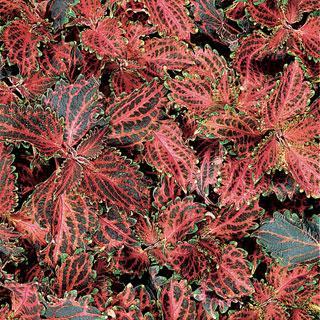 Coleus Red Ruffles