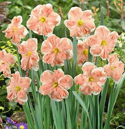 SOLD OUT Apricot Whirl Split Cup Daffodil - 10 bulbs