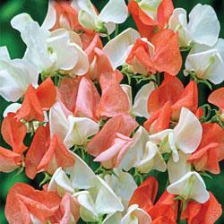 Sweet Pea 'Tangerine Cream' Climber to 6ft
