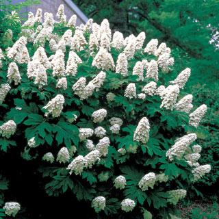 Snow Queen Hydrangea quercifolia Shrub