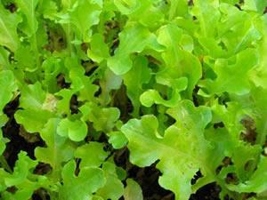 Lettuce, Salad Bowl, Looseleaf