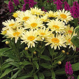 Banana Cream Leucanthemum superburn Shasta Daisy Plant