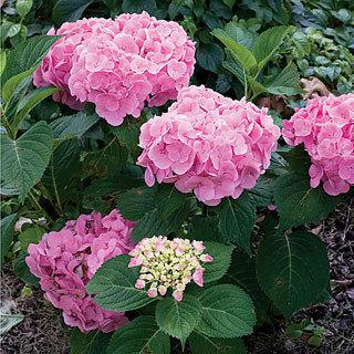 Let's Dance™ Moonlight Hydrangea Shrub