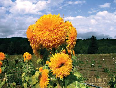 Sunflower-Giant Sungold