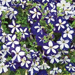 Petunia grandiflora 'Avalanche Blue Star' F1 Hybrid