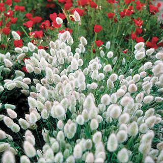 Ornamental Grass Bunny Tails