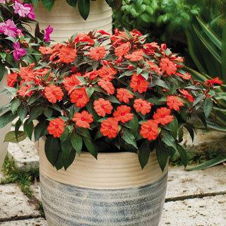 Impatiens SunPatiens® Compact Orange PP#19,498