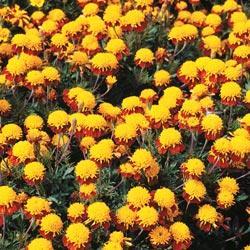 Marigold p.'Solan'