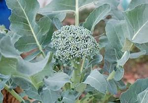 Broccoli, Di Cicco, Heading